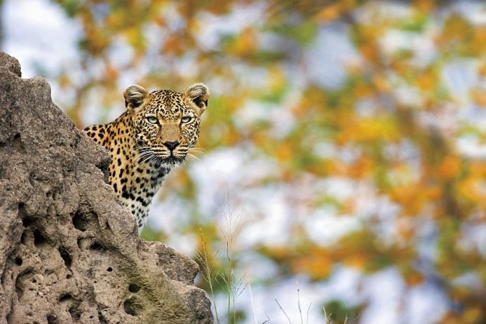 Леопард наблюдает за добычей в национальном парке Крюгер — старейшем в ЮАР.  Он снимал вымирающих горилл в горах Руанды, хамелеонов на Мадагаскаре, храмы Камбоджи и вулканы Чили