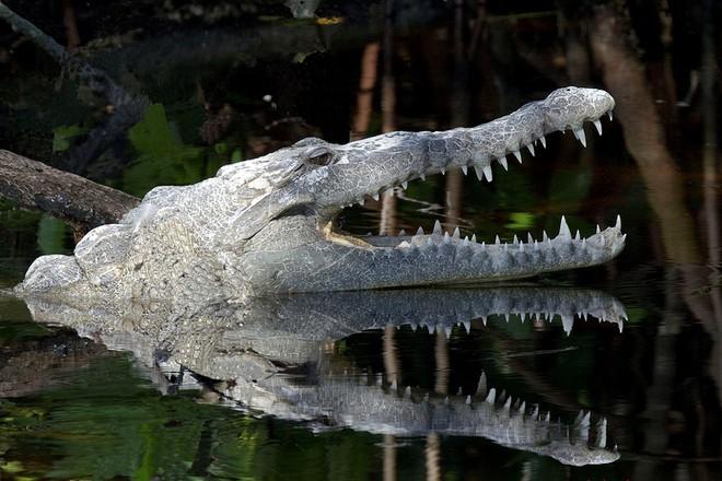 Спасающийся от полиции грабитель угодил в реку и вступил в драку с крокодилами