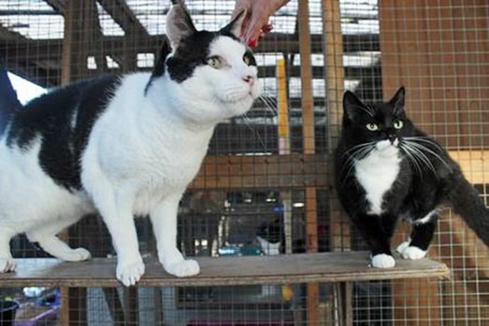 Огромный кот Иуда ищет хозяина