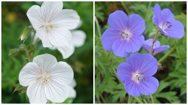 Герань луговая Kashmir White. Фото с сайта ru.pinterest.com. Герань луговая Kashmir Purple. Фото с сайта www.dorsetperennials.co.uk.