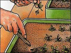 Особенности пикировки цветов