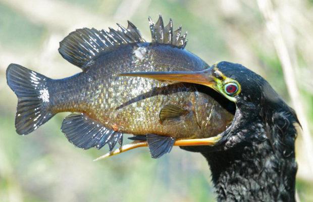 Жадная птица проглотила рыбу в три раза больше её головы