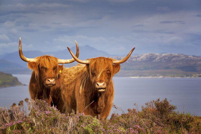 Такое увидишь только в Шотландии. / Фото: viajeropeligro.com