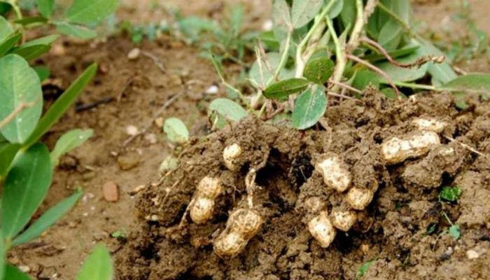 Выращиваем арахис на даче