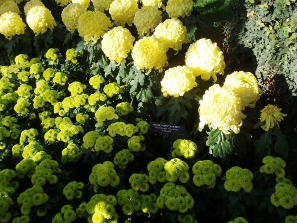 Хризантемы в садах Лонгвуда