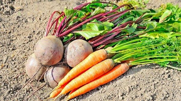 Как убрать свеклу и морковь,…