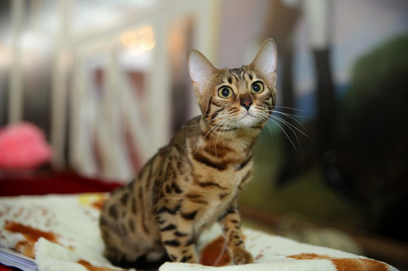 """А вы знаете для чего кошкам эти """"кармашки"""" на ушах?"""