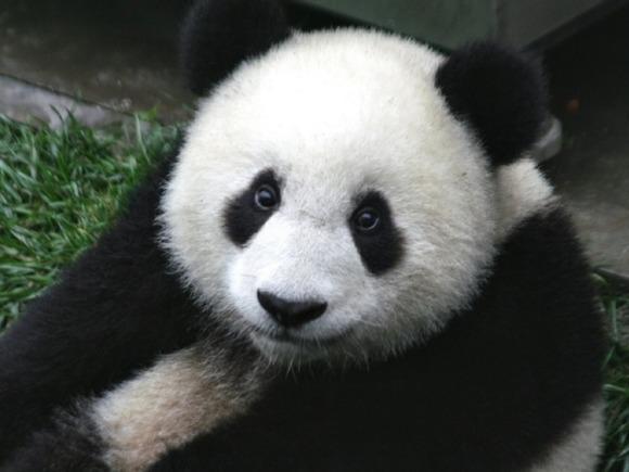 Хулиган, залезший в вольер панды в зоопарке Наньчана, не выдержал её нежности