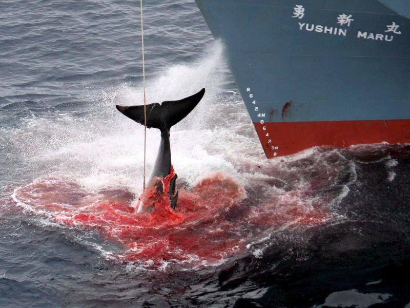 Япония: нет истреблению китов! Считанные часы до принятия решения