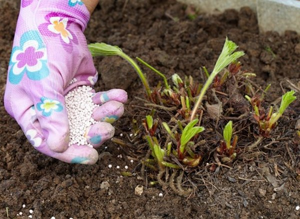 Чем подкармливать клубнику после сбора урожая, осенью?