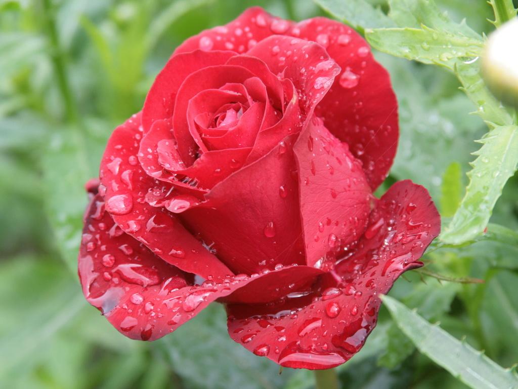 Простое средство для здоровья роз