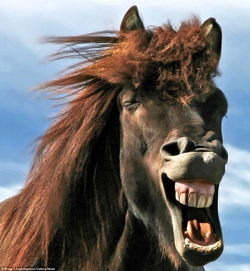 Дикие лошади Исландии в игривом настроении