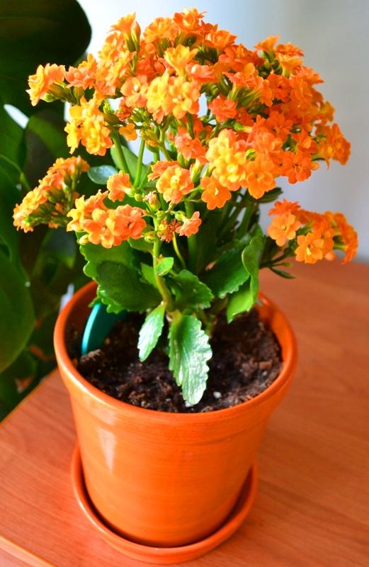 Домашние цветы каланхоэ с