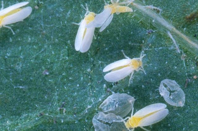 Безобидная с виду бабочка - серьезный враг растений.