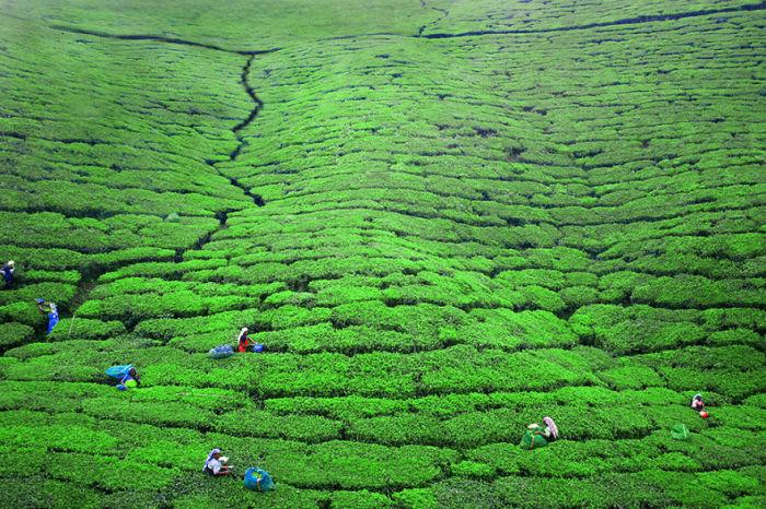 Огромные чайные плантации с работниками на острове Шри-Ланка.