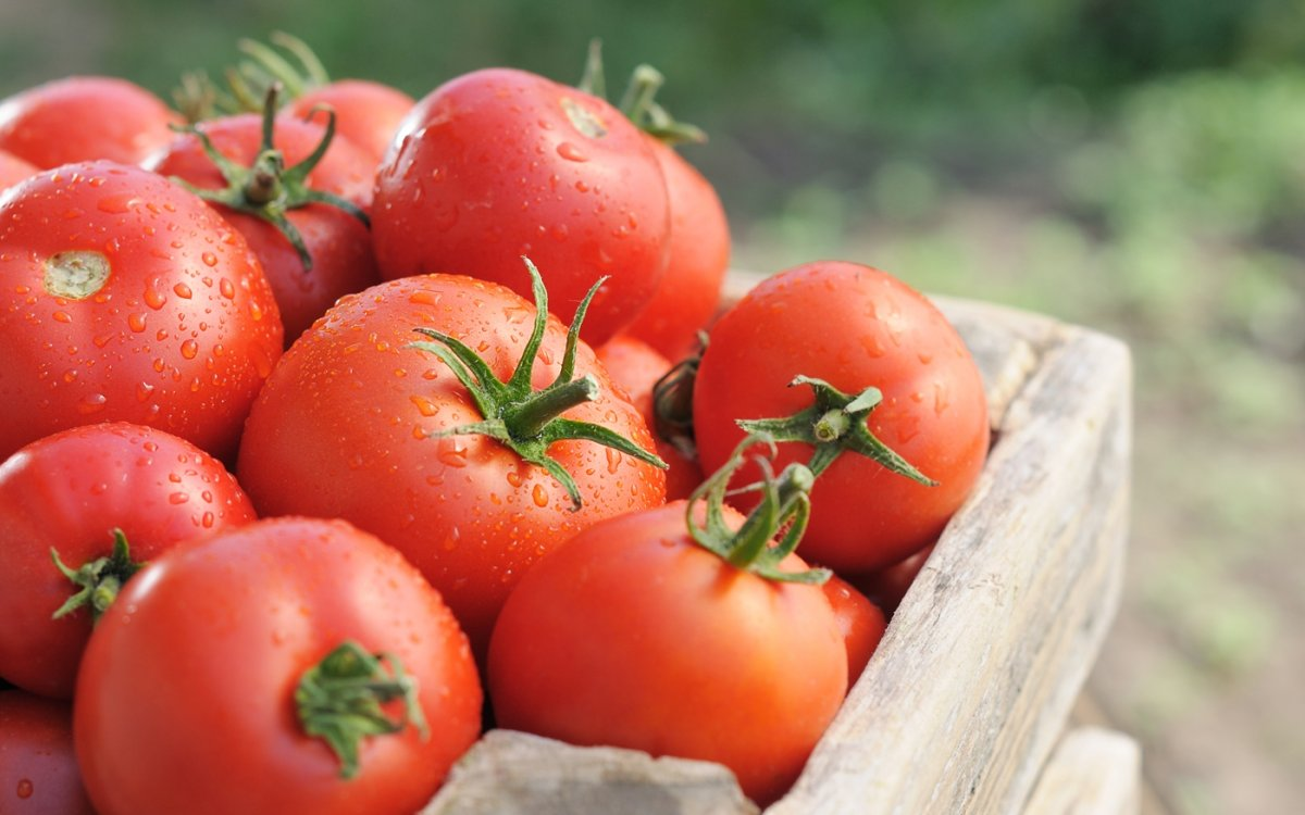 Секреты крупных томатов