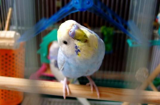Что необходимо знать и что приобрести для содержания волнистого попугайчика