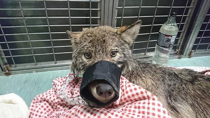 Спасенная собака оказалась волком