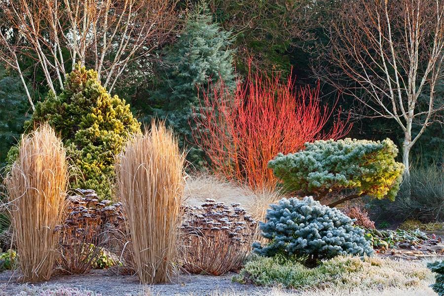 Устройство зимнего сада — незаменимый дёрен