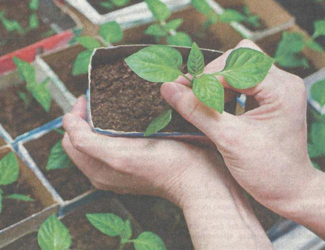 Ошибки при выращивании рассады перца