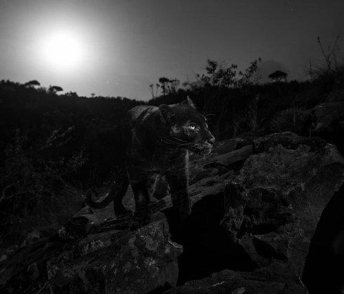 Впервые за 100 лет редкий чёрный леопард попал в объектив фотографа