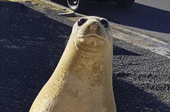 Морской лев прогулялся по городским улицам в Австралии