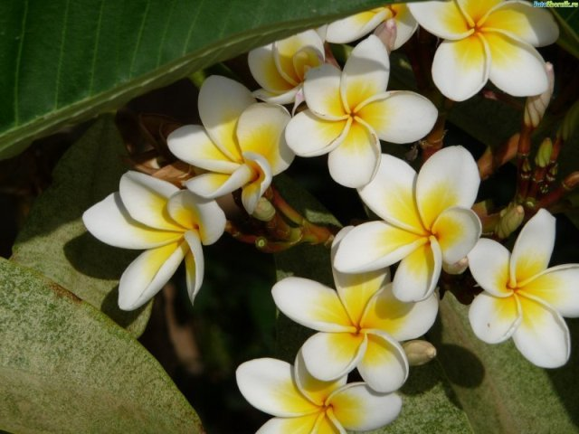 как цветет фикус фото