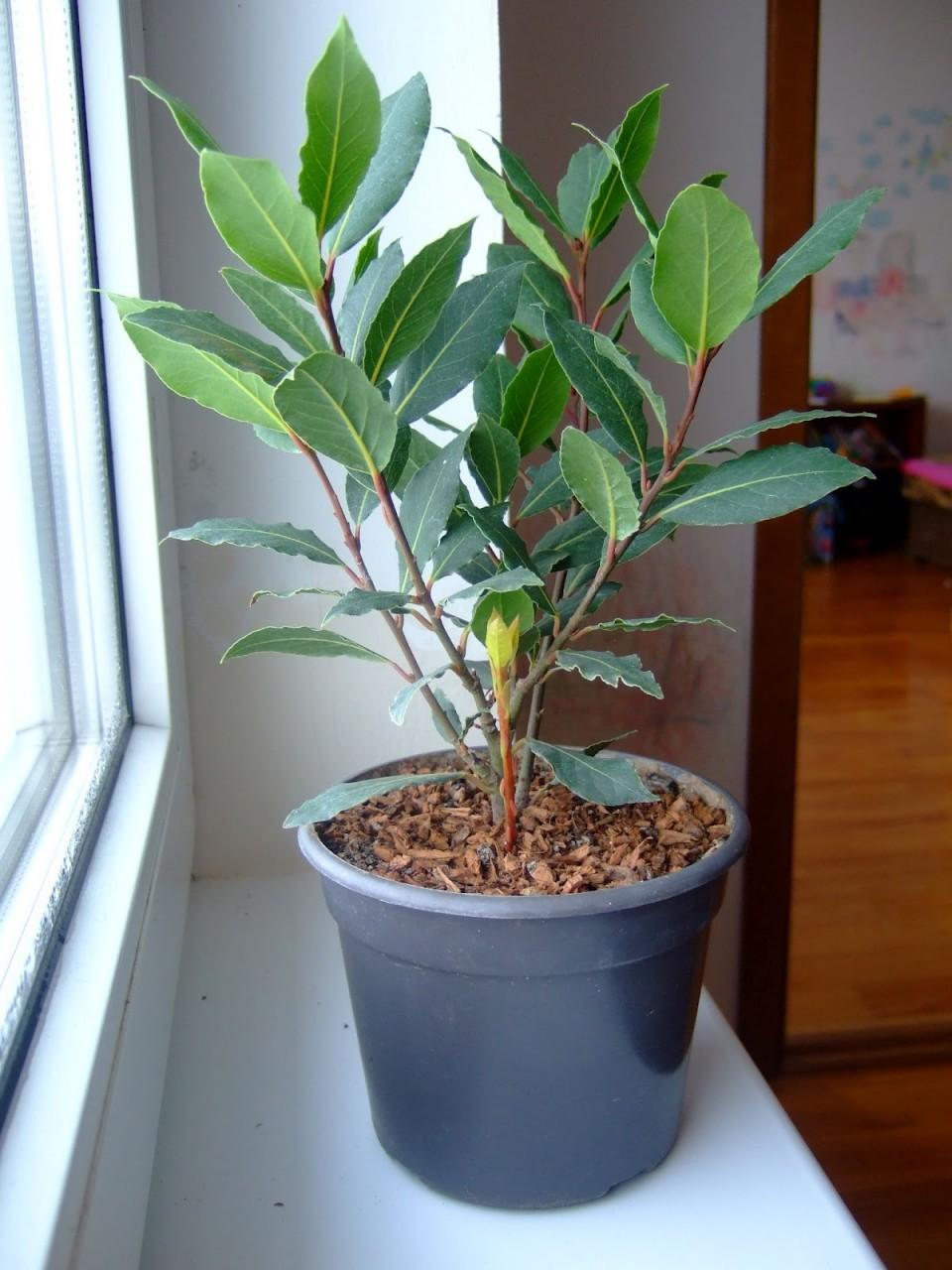Как вырастить лавр в квартире