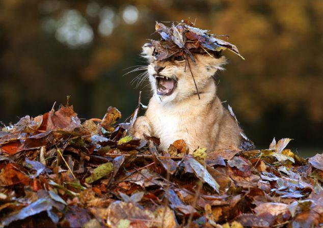 Братья наши меньшие: осенними днями Карис играет в опавших листьях