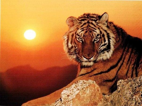 Интересные факты про тигров