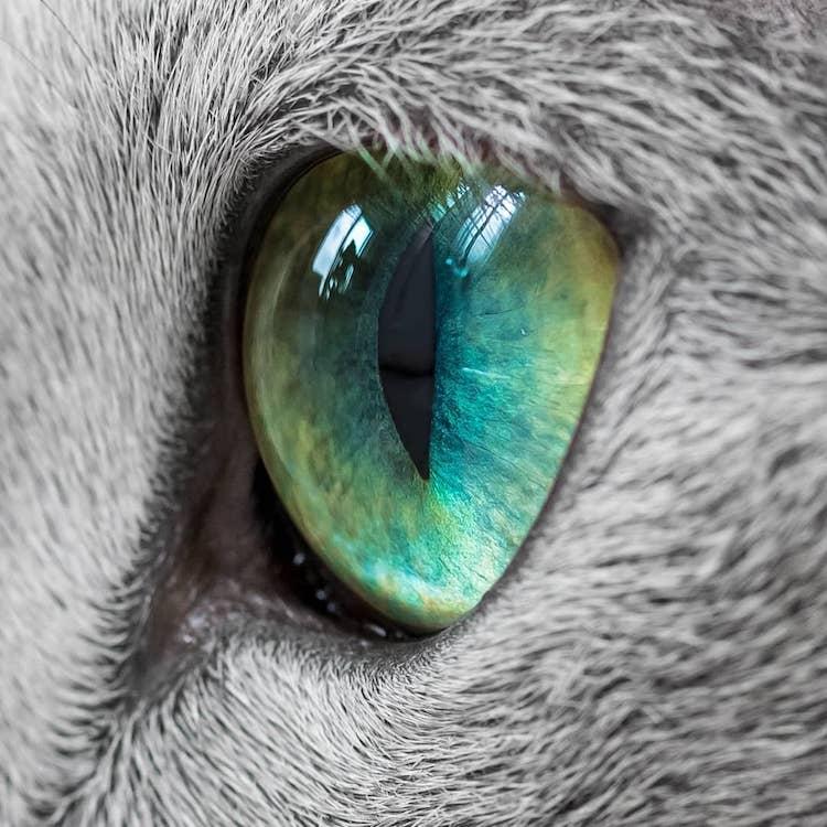 russian-blue-cats-19.jpg