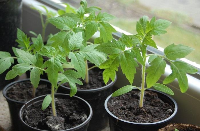 посев рассады томатов