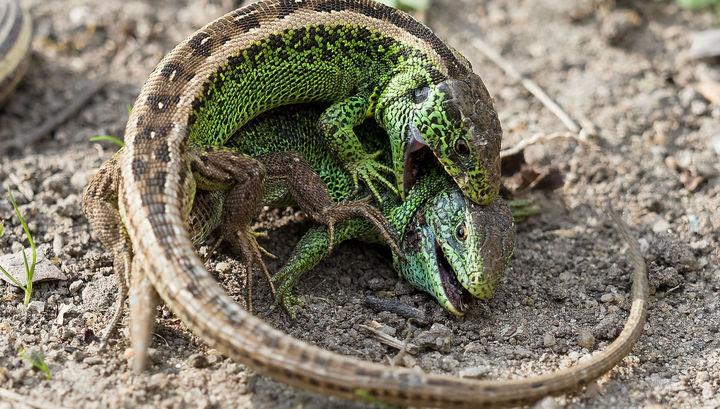 Ящерицы заставили усомниться в разнообразии форм жизни на Земле
