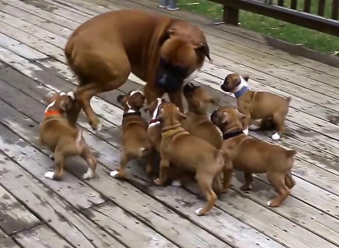 Этот папа боксер впервые увидел свои щенков. Его реакция просто чудесна!
