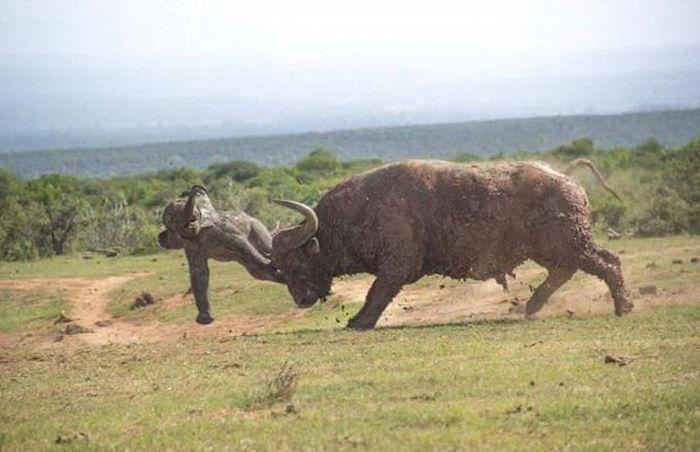 Слониха наказала буйвола за слоненка