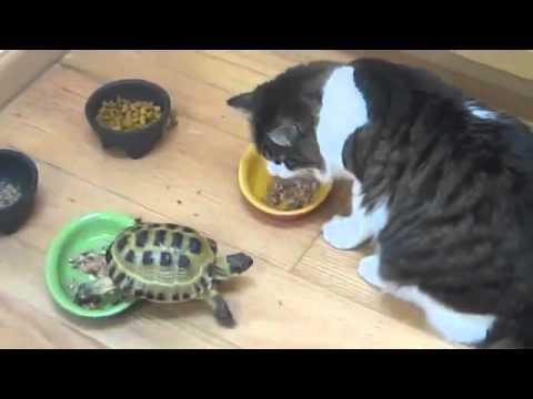 Черепашка-нинзя и кот