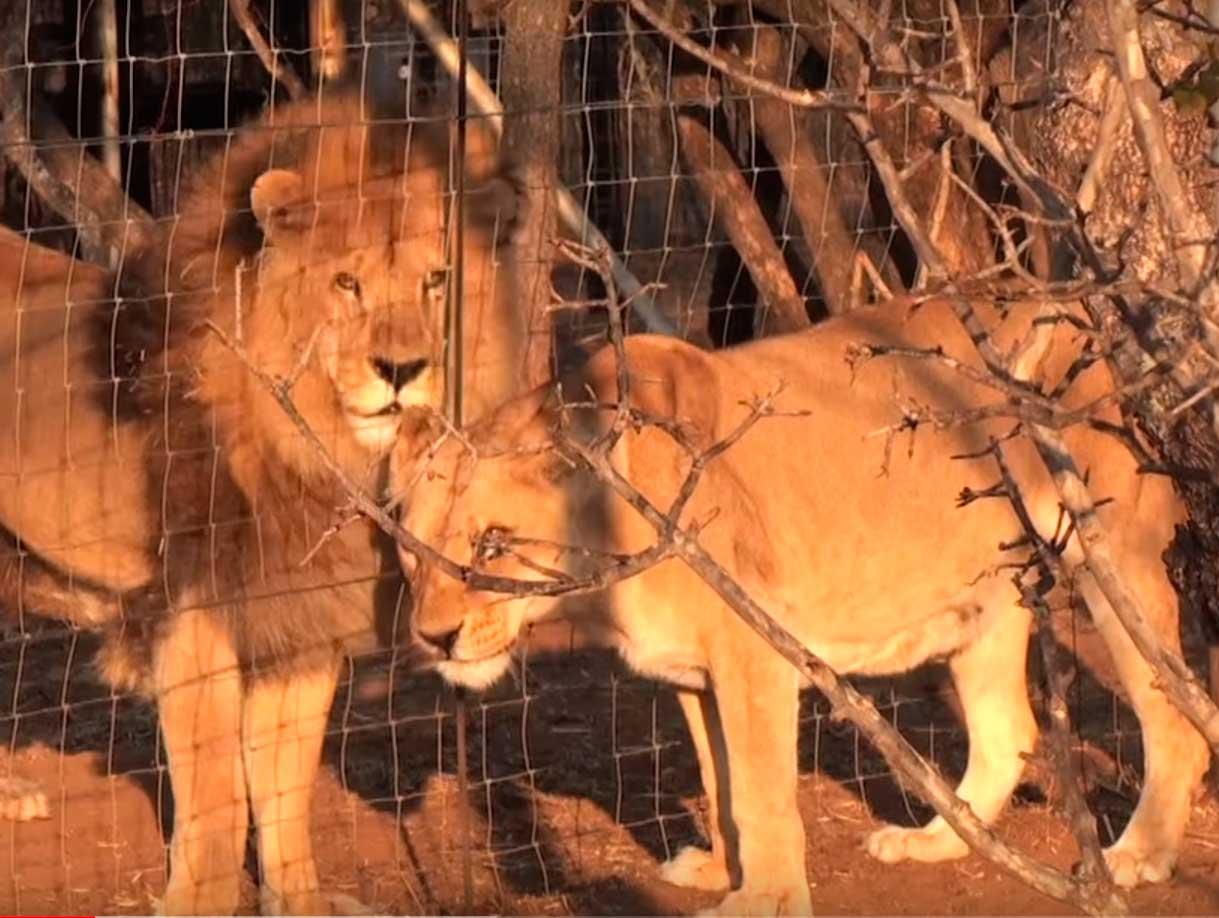 Лев-отец видел, как сильно переживает его дочь-львица и из последних сил подполз к ее вольеру