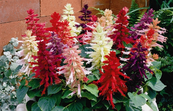 Сальвия: выращивание из семян