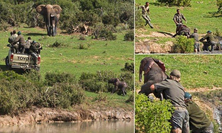 Спасение слонёнка с риском для собственной жизни