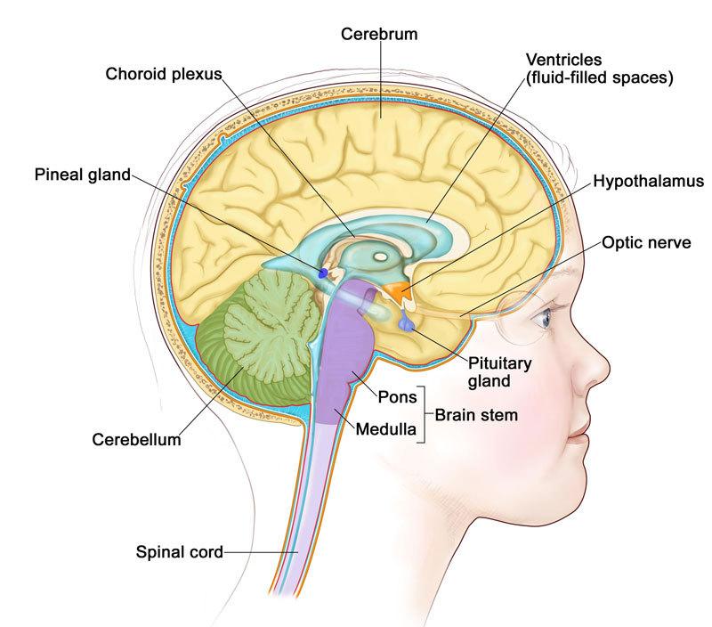 Как созревает детский мозг: что важно знать о этапах развитии ребенка