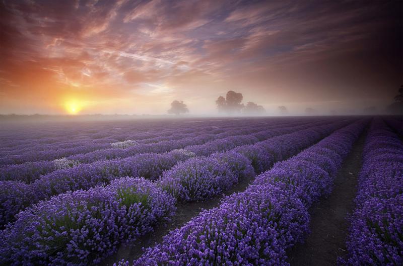 Лавандовые поля, Великобритания и Франция красивые места, красота, невероятные места, фото
