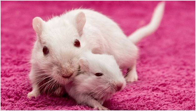 Факты из жизни обычных мышей