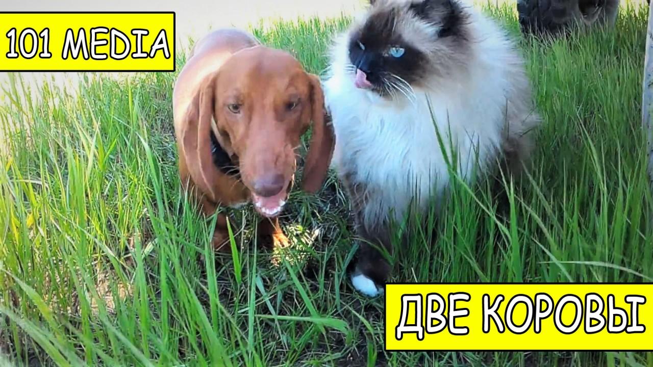 Русское Видео про собак и кошек ( две коровы )