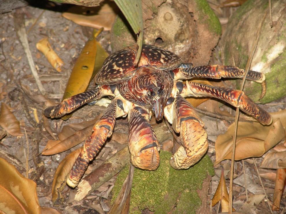Coconutcrab11 Самый крупный представитель членистоногих, кокосовый краб!