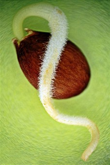 Семена ... замачивание, проращивание...