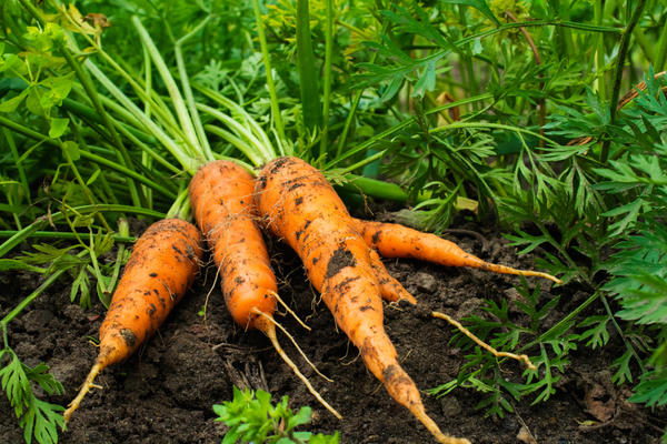 Выращивание моркови. Опыт лентяя
