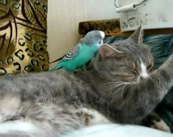 Попугай говорит с котом. Видео