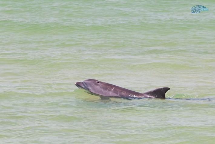 Строительство моста в Крым увеличило численность дельфинов в Керченском проливе