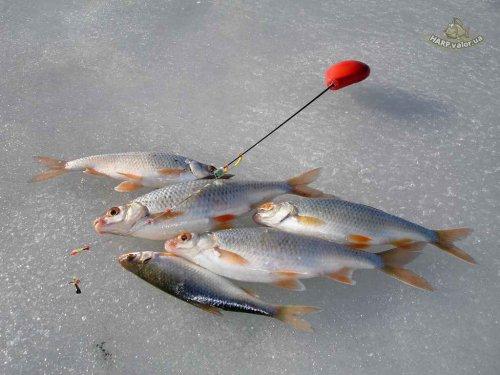 рыбалка.зимняя ловля плотвы