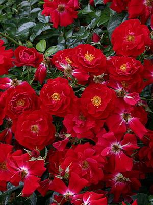 Виды и сорта роз: фото, названия
